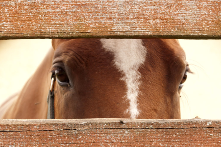 Horse peering through fenceboards