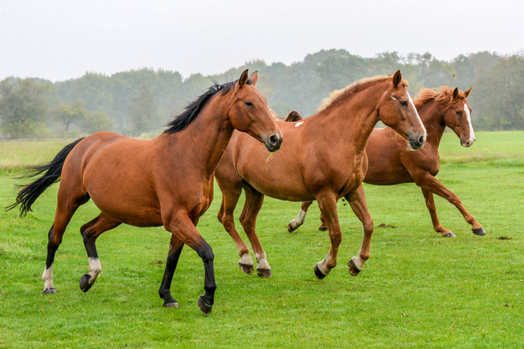 Three cantering horses